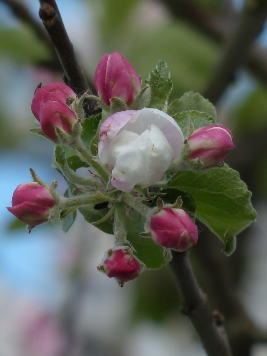 苹果花,苹果树,开花,白,粉红色