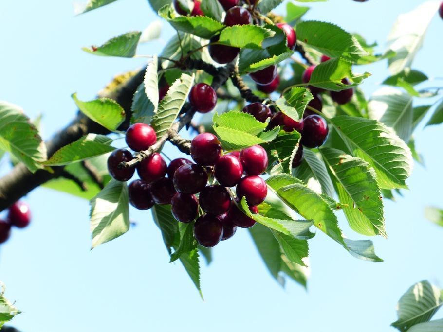 樱桃,甜樱桃,红色,水果,健康,叶子
