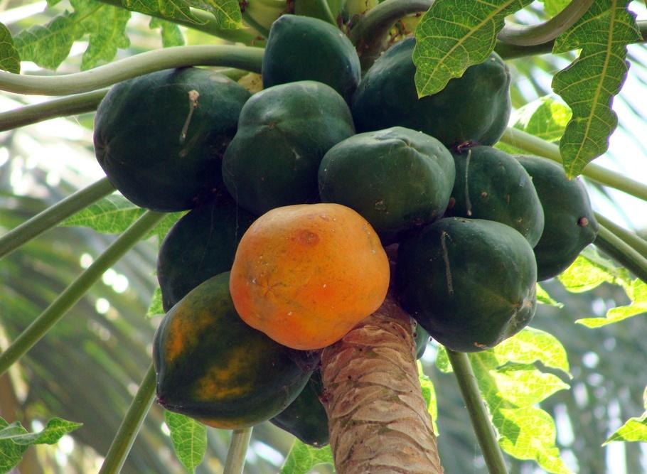 木瓜,达瓦德,卡纳塔克邦,印度,水果,多汁,食品