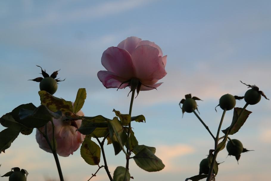 玫瑰,开花,盛开,粉红色,玫瑰果,水果,花